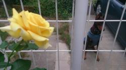 Lucyのバラ