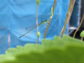 糸とんぼ2015.8.28