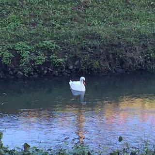 白鳥2015.10.7