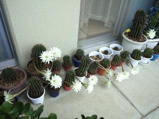 150821_3405今朝のサボテンの花達wideVGA