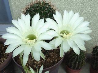 150821_3406今朝のサボテンの花zoomVGA