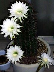 150824_3422今夜開いた親サボテンの花達zoom_縦VGA