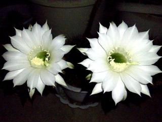 150824_3421今夜開いた子サボテンの花達zoomVGA