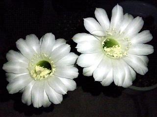 150909_3456今夜開いたサボテンの花VGA
