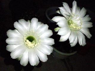 150909_3457今夜開いたサボテンの花VGA