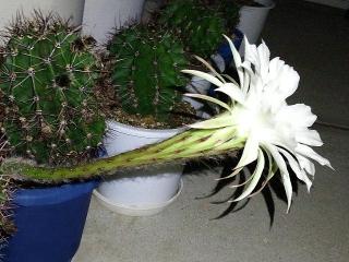 150915_3466今夜咲いたサボテンの花・横からVGA