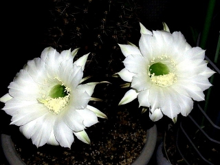 150926_3492今夜開いた親サボテンの花達VGA
