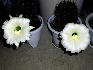 150926_3493今夜開いた子サボテンの花達VGA