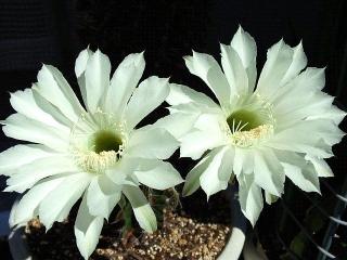 150927_3495今朝の親サボテンの花達VGA