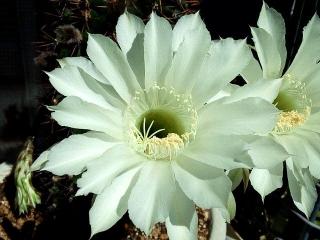 150927_3497今朝の親サボテンの花zoomVGA