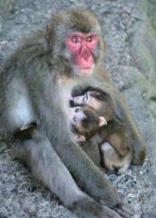 151002_高崎山の母子猿・カラオケとボックスと養子_201508310001_000_480x671