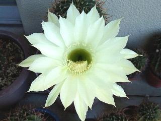 151004_3520今朝のサボテンの花VGA