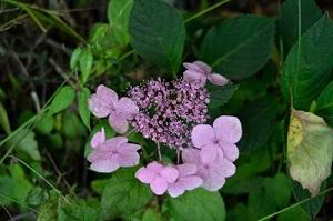 庭先の紫陽花