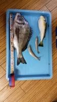 20150魚太郎のチヌ河豚