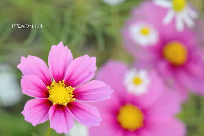 秋桜2015