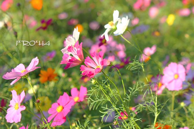 秋桜2014-2