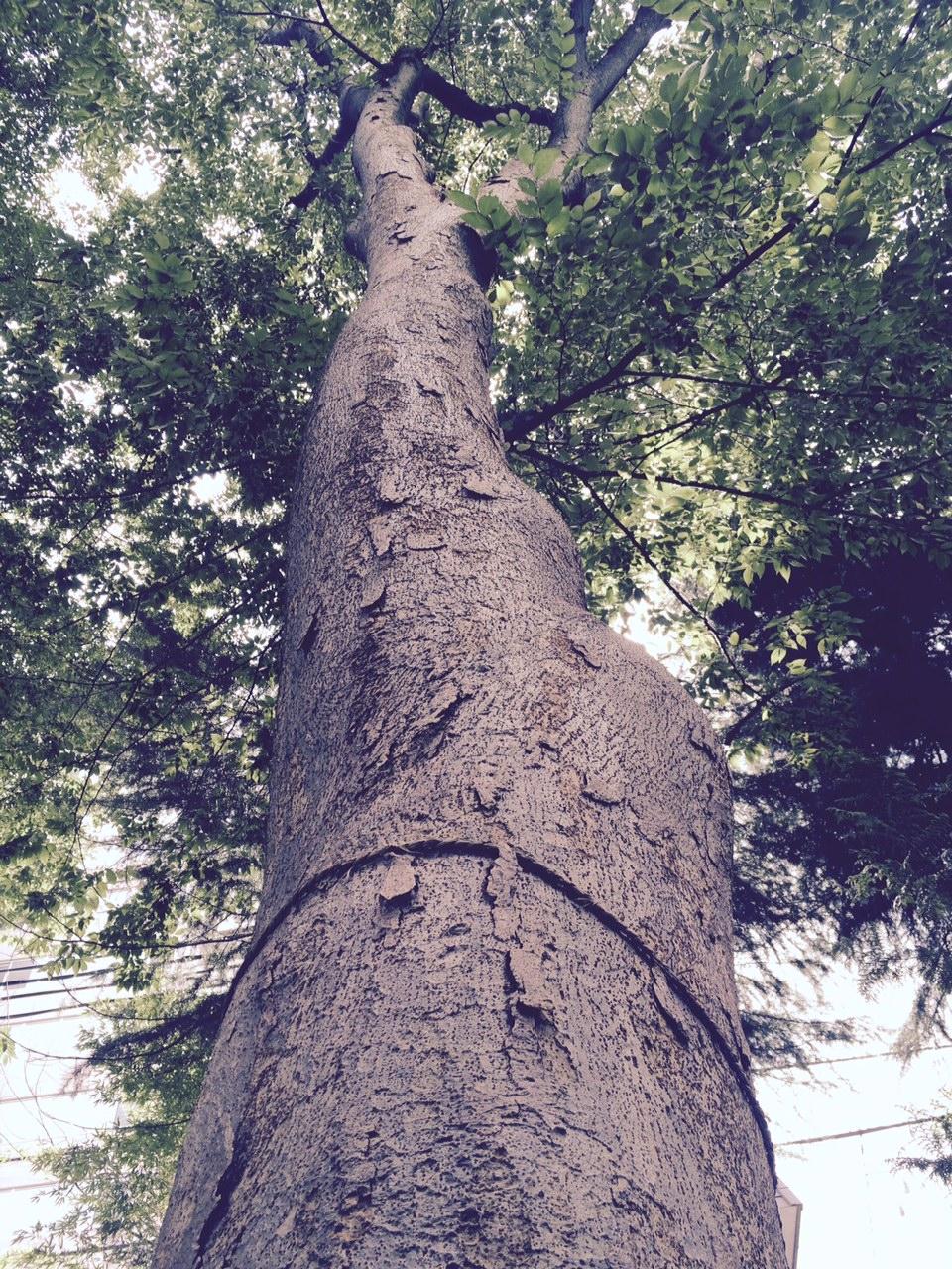 arbre sacre aomori