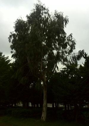 みらい住建 リフォーム 松戸市の市の木 2号3日④縮小