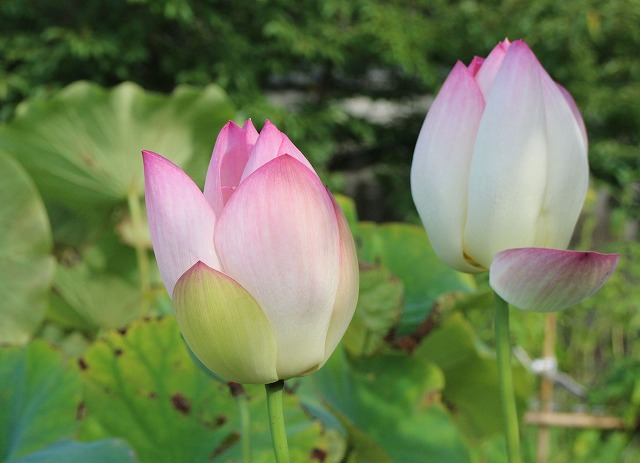 蓮の花2輪 蕾 27.8.22
