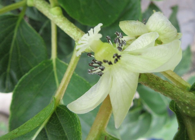 サルナシの花アップ 27.9.22