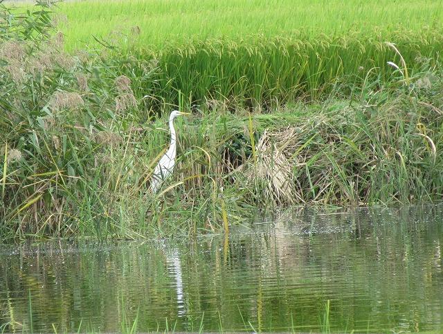 池の端っこに一羽 27.9.25