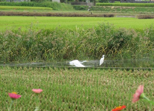 白いサギ2羽 27.9.25