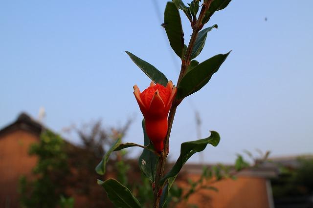ザクロの花 27.8.24