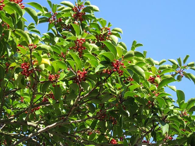 クロガネモチの木と実 27.10.21