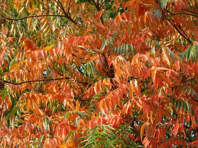 山の木の紅葉 27.10.22