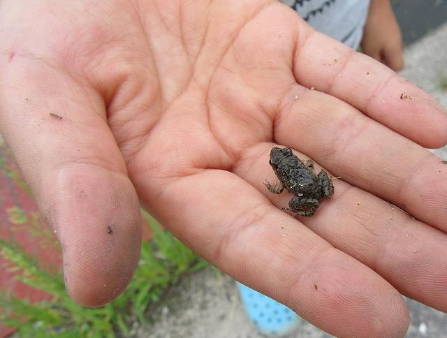 稲刈りで、黒い小さな蛙 27.8.29