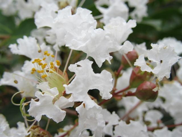 百日紅 白花 近付いて 27.9.21