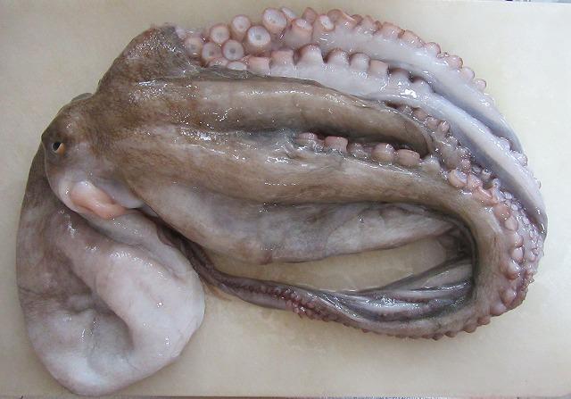 大きな蛸 27.8.31