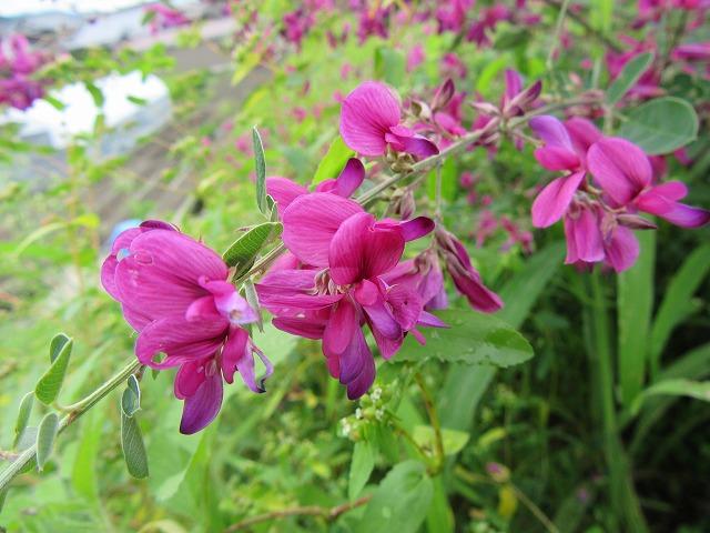 萩の花だけアップ 27.9.22