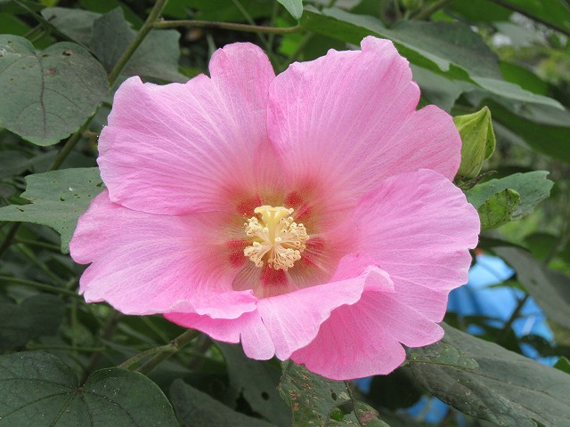 芙蓉の花 27.9.21