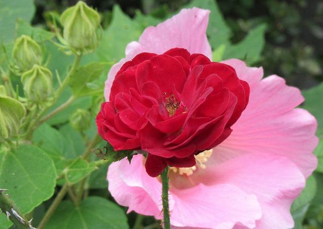 芙蓉と薔薇 27.9.21