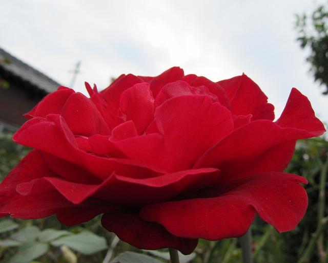 薔薇の花 赤 27.9.21