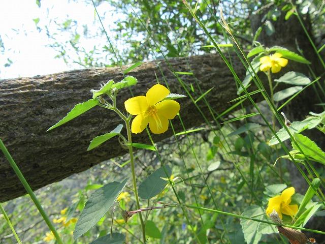 黄色い可愛い花です 27.9.23
