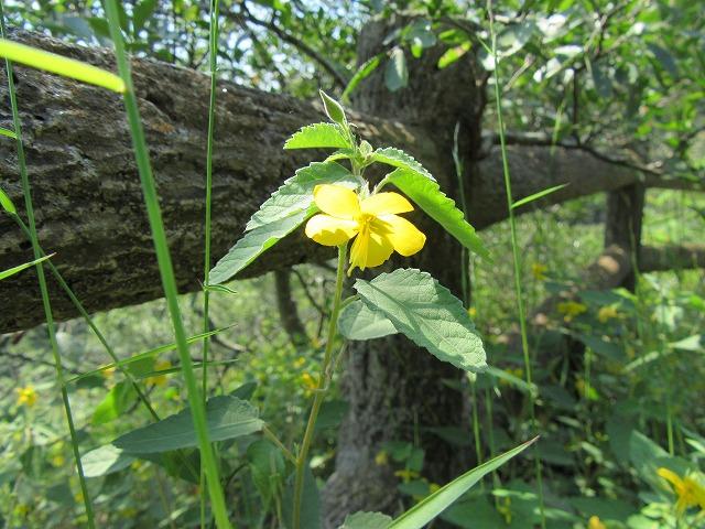 黄色い可愛い花 横 27.9.23