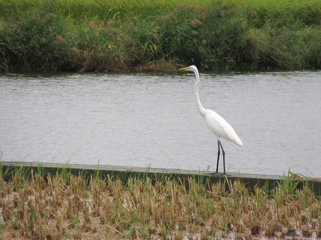 白い鳥1羽しか 27.9.24