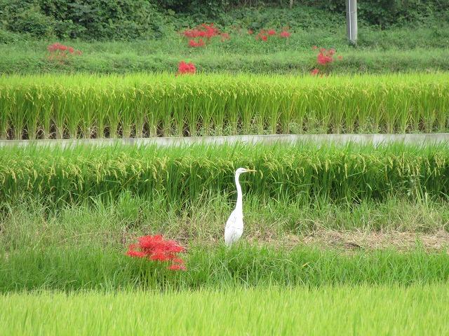 田んぼに鷺彼岸花 27.9.25