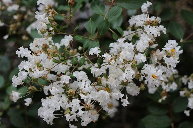 百日紅白色花 NO2 27.9.21