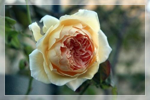 s-150912クラウン・プリンセス・マルガリータIMG_7400