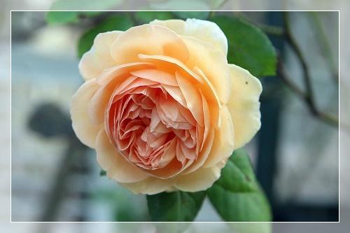 s-150920クラウン・プリンセス・マルガリータIMG_7550