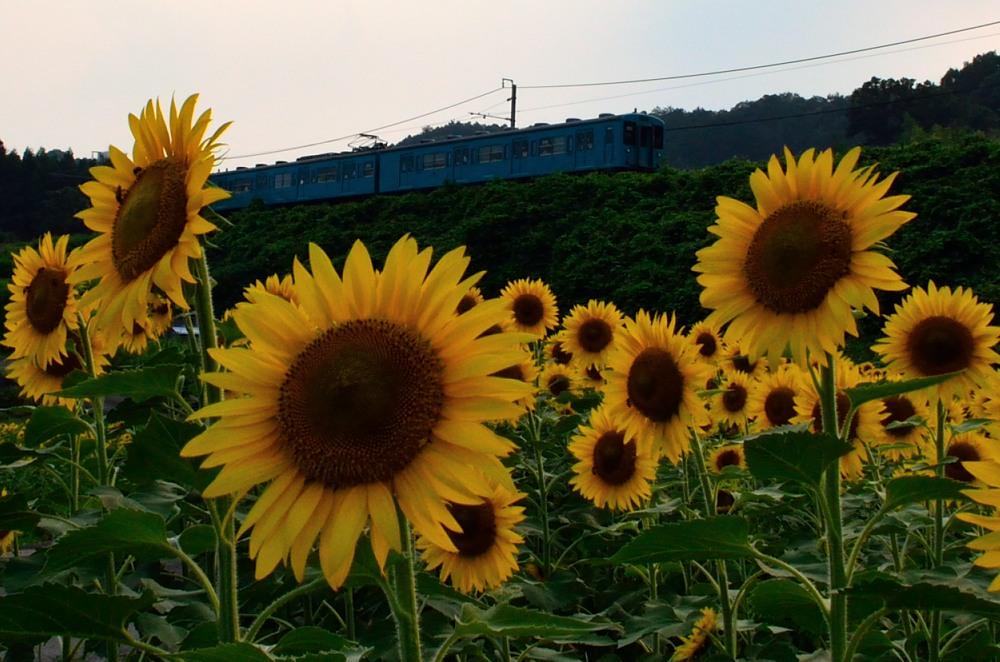 _ひまわり畑下り列車DSC_4515