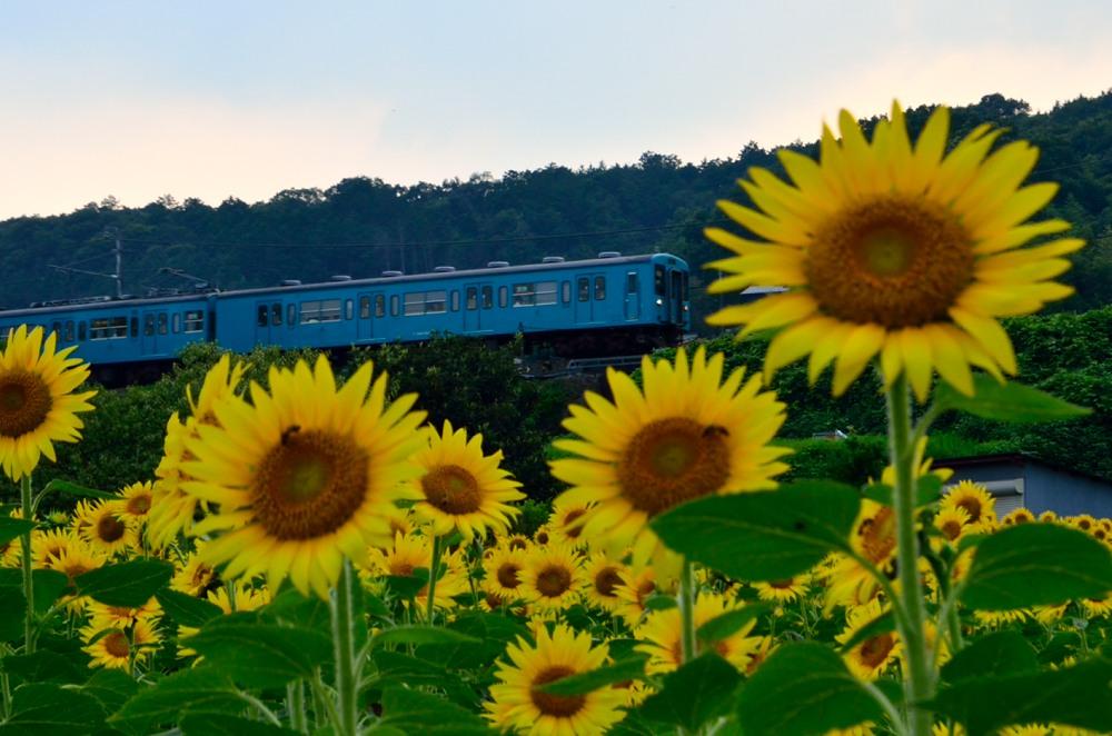 _ひまわり畑上り列車DSC_4475