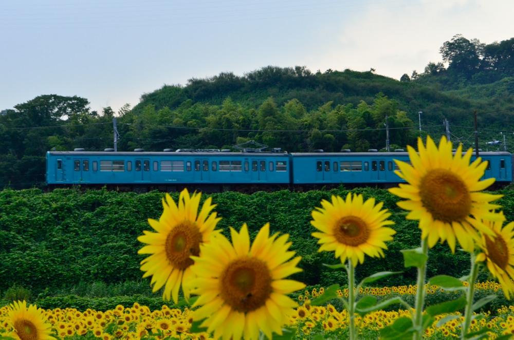 _上り列車とひまわりDSC_4484
