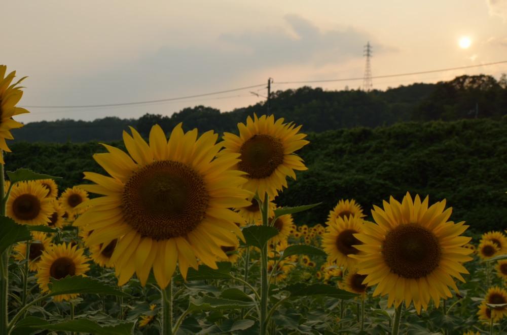 _ひまわり畑夕陽DSC_4523
