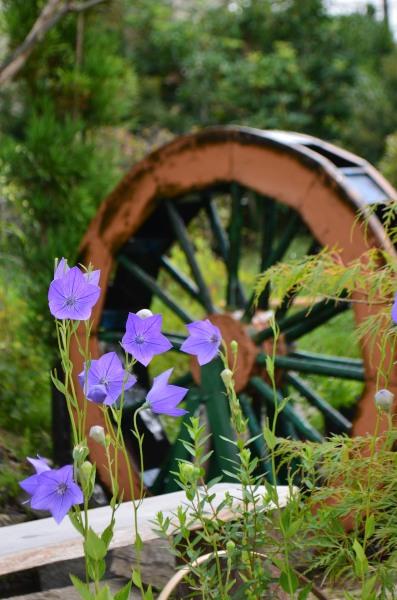_水車とキキョウの花DSC_4085