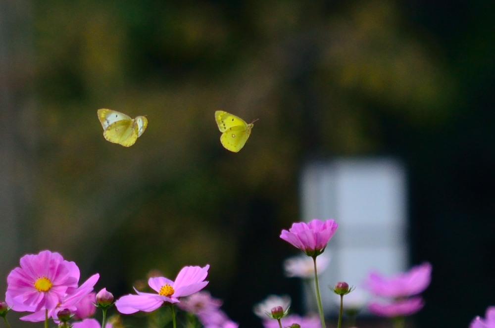 _コスモスと二匹の蝶DSC_6181