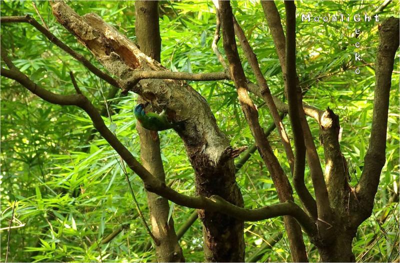 タイワンゴシキドリ